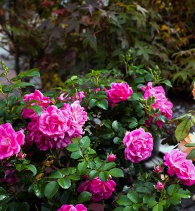 Baumschulen-Busch-Rose-Angebote