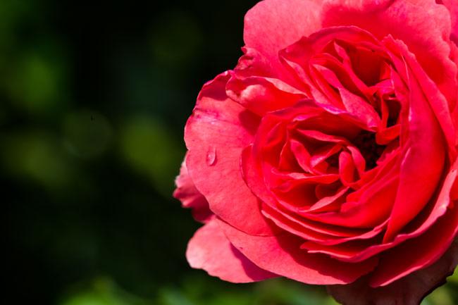 Baumschulen-Busch-Rose